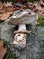 Tricholoma caligatum (Viv.) Ricken 684673.jpg