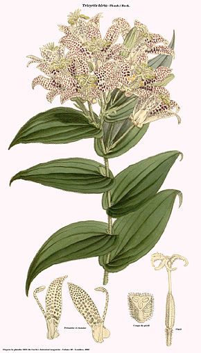 Description de l'image Tricyrtis hirta (Curtis).jpg.