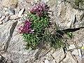 Trifolium alpinum001.jpg