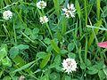 Trifolium repens 2 - wetland.jpg