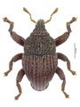 Trigonopterus fraterculus Riedel, holotype.tif