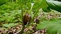 Trillium petiolatum- Washington.jpg