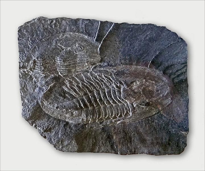 Fossiles de trilobites (Trilobita) dans du schiste ardoisier La présence de ces fossiles est assez rare, elle permet de dater le début de la formation du schiste entre 460 et 470 millions d'années.   L'Anjou fait partie d'une micro-plaque appelée Armorica, qui s'est formée dans l'hémisphère sud puis qui a migré vers le nord il y a environ 460 millions d'années. Au cours de ces mouvements, une collision majeure s'est produite entre les différentes plaques. Des plissements avec de nombreuses fractures se sont produits. La roche s'est alors structurée en plans de débit en feuillets appelés plans de schistosité.   Le musée de l'ardoise, qui dispose du label musée de France,  est installé sur un ancien site minier appelé: site de l'Union – Petit Pré  qui s'étend sur 3 hectares.   Il dispose d'une maison datant du XVIè siècle appelée maison de l'Union où se trouvent la billetterie et la boutique, d'une aire de démonstration à proximité d'une ancienne carrière d'ardoise (aujourd'hui remplie d'eau), de sentiers pédestres de découverte des carrières, d'un espace muséographique situé dans le centre culturel voisin, lui-même installé dans une ancienne manufacture d'allumettes.  L'ensemble est géré par l'association des Amis de l'ardoise créée en 1979.   Le musée de l'ardoise (Trélazé) www.lemuseedelardoise.fr/