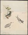 Trochilus delalandii - 1700-1880 - Print - Iconographia Zoologica - Special Collections University of Amsterdam - UBA01 IZ19100471.tif