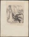Trochilus ensiferus - 1879 - Print - Iconographia Zoologica - Special Collections University of Amsterdam - UBA01 IZ19100283.tif
