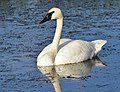 Trumpeter Swan on Seedskadee National Wildlife Refuge (28320013734).jpg