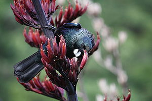 A New Zealand Tui eating the nectar from the f...
