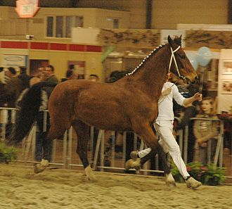 Dutch Harness Horse - This Tuigpaard, at a Flanders regional agricultural show, turned out for exhibition in-hand.