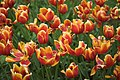 Tulips (151539448).jpg