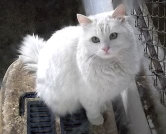 Turkish Angora - Angora cat at the Ankara Zoo in January 2012. The zoo breeds and sells Angora cats.