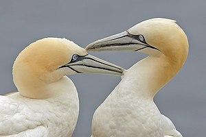 Pair bond - Northern gannet pair