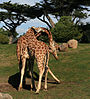 Two male giraffes are necking in San Francisco Zoo.jpg