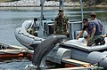 US Navy 070613-N-7676W-331 Aviation Structural Mechanic 2nd Class Shaun McDonald, center, assigned to Naval Special Clearance Team One (NSCT) 1, brings Ten, a Marine Mammal System (MMS) dolphin, aboard a rigid hull inflatable b.jpg