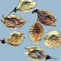Ulmus americana seeds.jpg