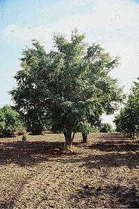 Ulmus davidiana (USDA)