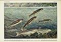 Unsere Süßwasserfische (Tafel 44) (6102605605).jpg