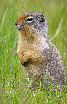 Ground squirrel standing on its hindlegs. Underparts yellow, upperparts grey, nose and cheeks red. Grass in the background.