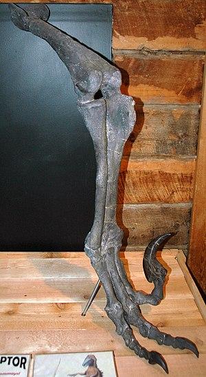 Utahraptor - Hind leg