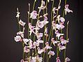 Utricularia blanchetii (34955606621).jpg