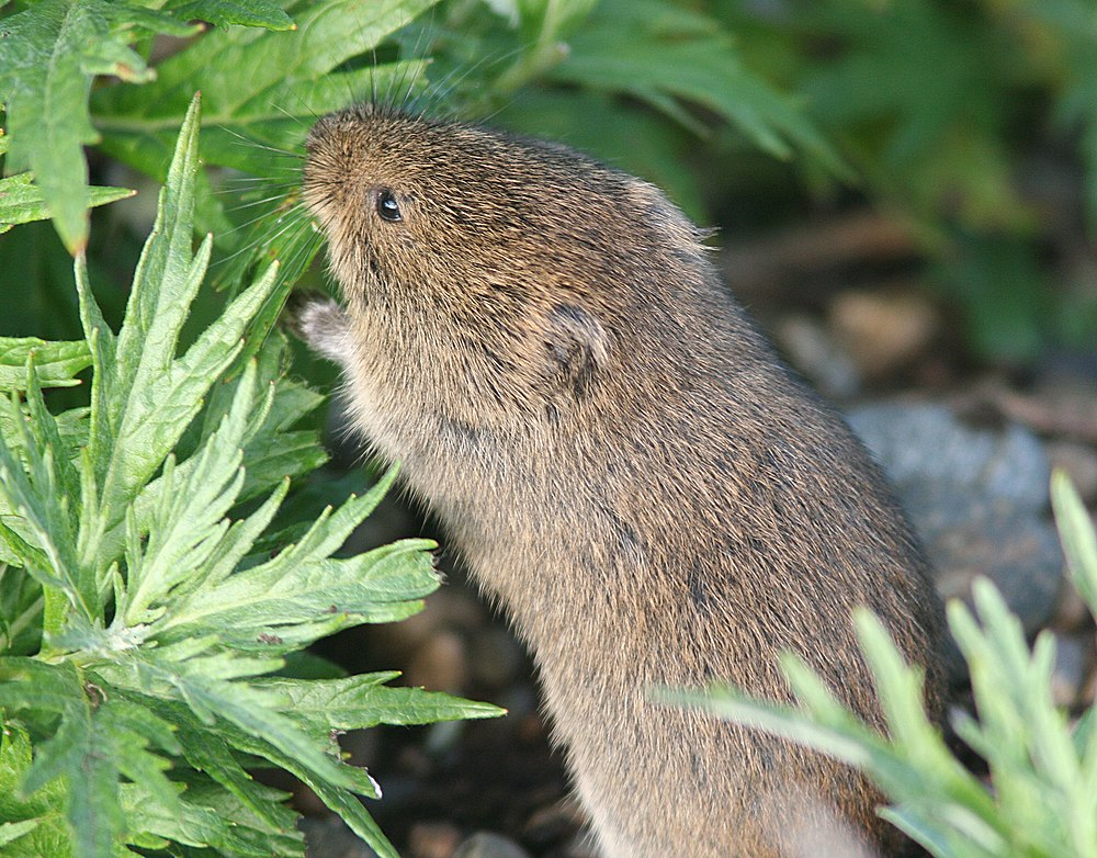 The average litter size of a Tundra vole is 5