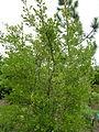 Vaccinium arboreum.jpg