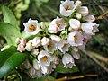 Vaccinium membranaceum Huckleberry Flowers.jpg
