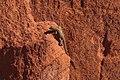 Valley of Fire State Park…lizard (6294509470).jpg