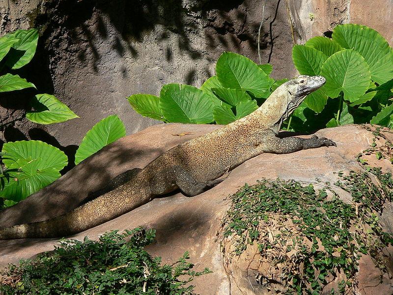 Archivo:Varanus komodoensis2.jpg