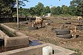 Veeteelt in belangrijk in Gambia.JPG
