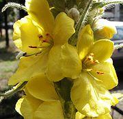 Verbascum.densiflorum.1