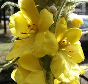 Verbascum.densiflorum.1.jpg