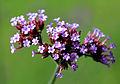 Verbena bonariensis Prague 2011 2.jpg