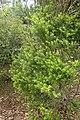 Veronica diosmifolia kz4.jpg