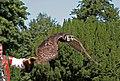 Verreux Eagle Owl 2 (1258671565).jpg
