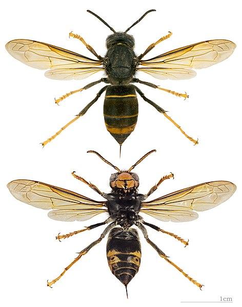 File:Vespa velutina nigrithorax MHNT.jpg