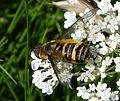 Villa cingulata . Bombyliidae - Flickr - gailhampshire.jpg