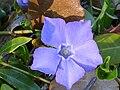 Vinca difformis EnfoqueFlor 2011-3-20 SierraMadrona.jpg