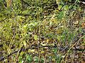 Vincetoxicum rossicum SCA-05086.jpg