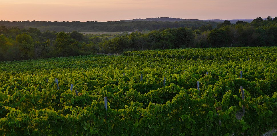 Vineyards of Istria (Croatia)