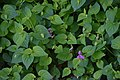 Viola adunca in Christchurch Botanic Gardens.jpg