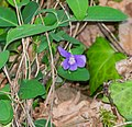 Viola reichenbachiana in Aveyron (4).jpg