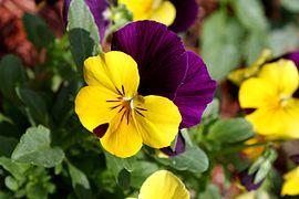 Viola tricolor pansy flower close up.jpg