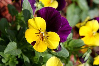 Pansy - Viola tricolor flower close up