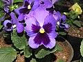 Viola tricolor var. hortensis, garden pansy from Nilgiris (10).jpg