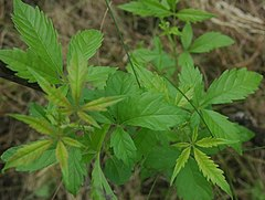 Vitex negundo leaves.jpg