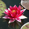 Water Lily (4753216092) (2).jpg
