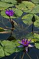 "Water lily, ""Mid Night"" - Flickr - nekonomania.jpg"