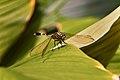 Weary Dragonfly (176730329).jpeg