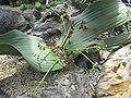Welwitschia mirabilis2.jpg