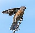 Western Bluebird (f) (39427539164).jpg